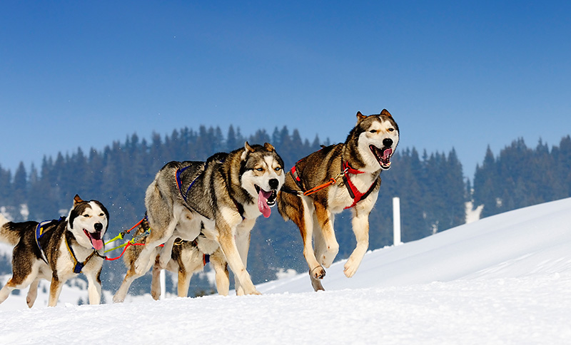Dog Sledding in Teton Village, Wyoming